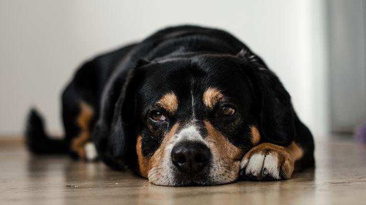 Ruhender Hund