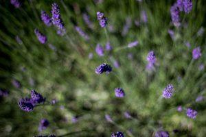 Lavendel eignet sich sehr gut als Entspannungsduft.